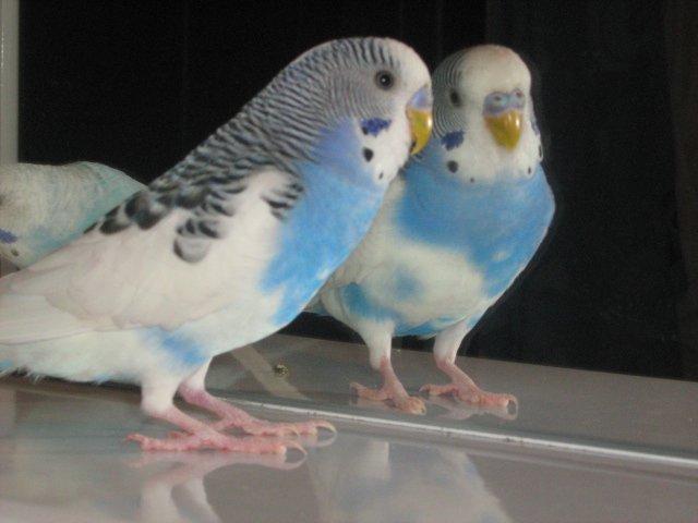 Волнистый попугайчик для малыша